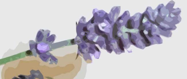 Lavendel, Abbildung